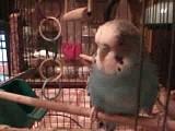 Попугай Петя