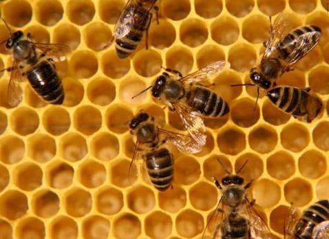 Целебные свойства пчелиного прополиса
