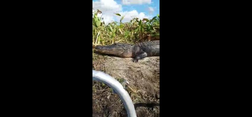 Аллигатор прыгнул в лодку к подплывшим слишком близко туристам