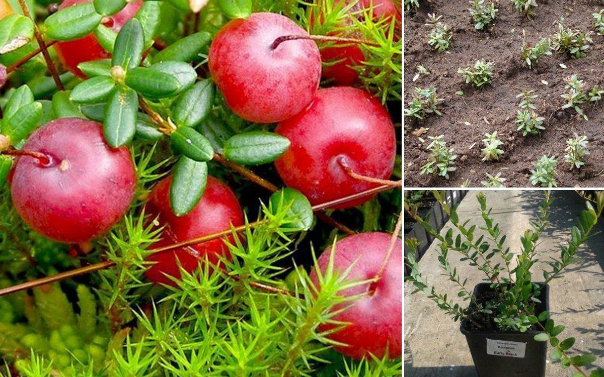 Выращивание крупноплодной клюквы на участке – все о посадке и уходе