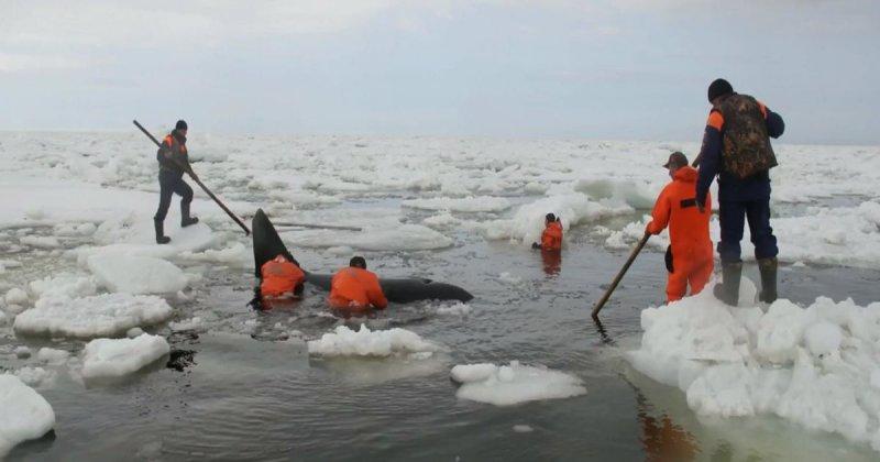 рыбак спас касатку