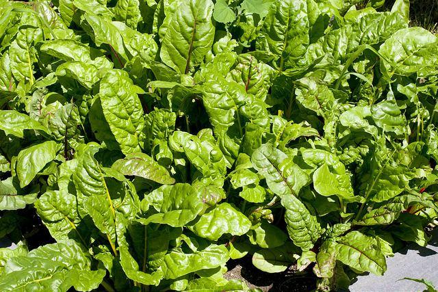 Листовая свекла мангольд выращивание 63