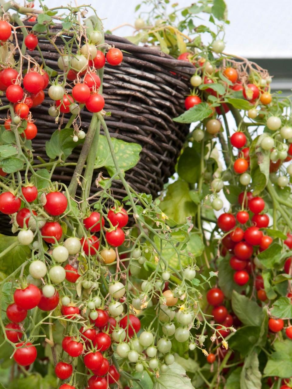 Сорта овощей для выращивания в контейнерах