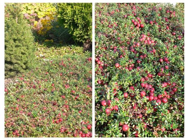 На открытом месте и подходящей почве клюква садовая отлично растет и плодоносит