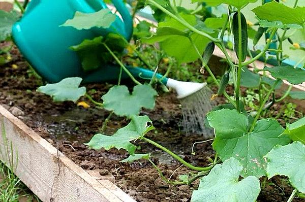 Чем обработать огурцы, чтобы листья не желтели