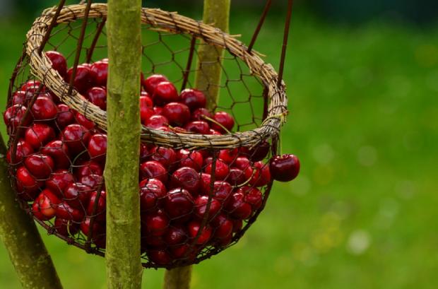 Как быстро собрать вишни с высокого дерева и что из ягод можно приготовить на зиму