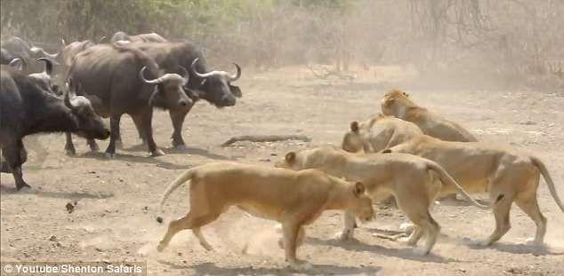 Стадо быков победило львиц в национальном парке Замбии