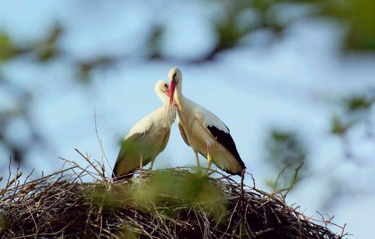 Аист каждую весну возвращается к своей подруге, которая не может летать