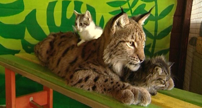Рысь воспитывает домашних котят