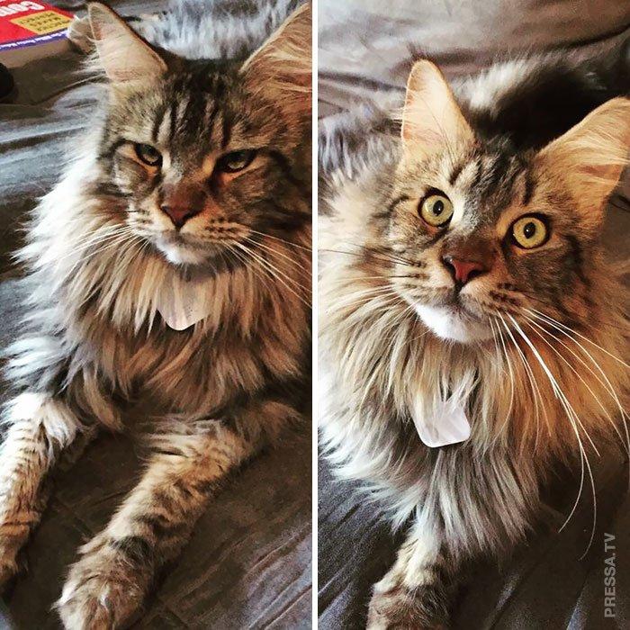 Царственные кошки мейн-куны