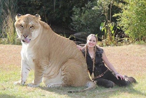 Лигр – результат скрещивания льва-самца и тигрицы-самки.
