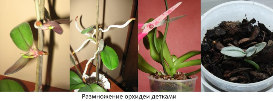 Орхидея в домашних условиях фаленопсис размножение