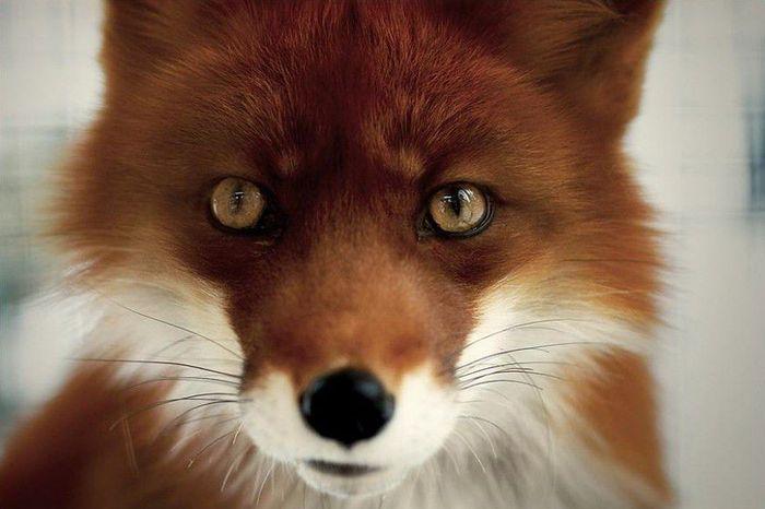 fox_20120409_00640_033 (700x500, 42Kb)