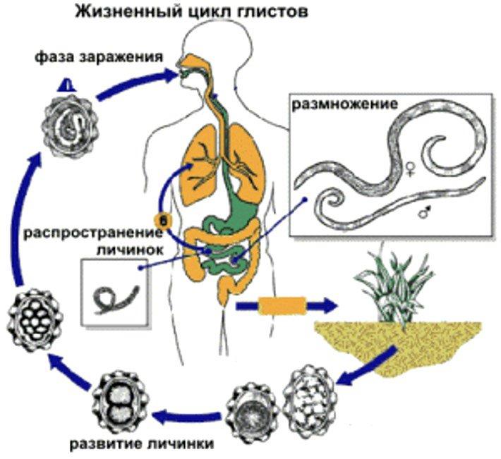 Гельминты у человека – анализы симптомы и средства лечения