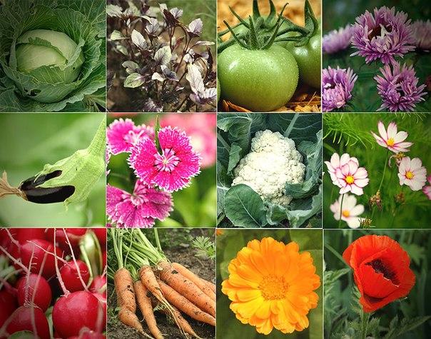 Лучшие предшественники овощей (что после чего сажать).