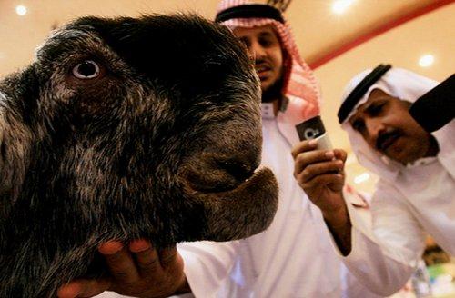 Дамасская коза: коза-чудовище, которая когда-то завоевала титул самой красивой в мире