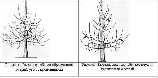 Обрезка и формирование кроны груши схема