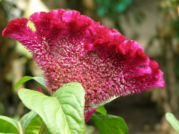 Целозия – цветок с нарядом «от кутюр»