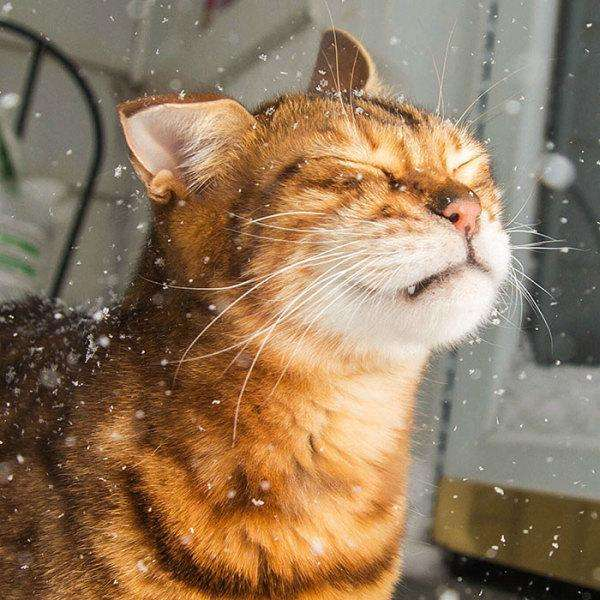 animals-and-first-snow-bengal-cat__700