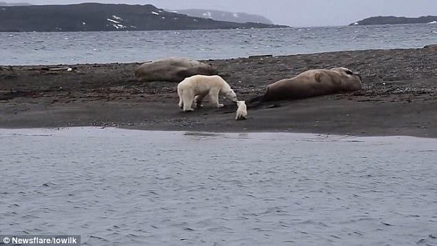 «Вы живы? Простите…» Белая медведица с малышом трогает спящих моржей – нельзя ли их скушать?