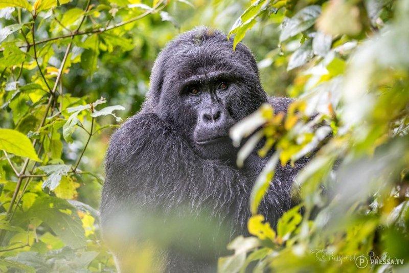 Путешествие по джунглям Уганды туда, где живут гориллы