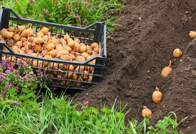 На какую глубину лучше высаживать клубни картофеля?