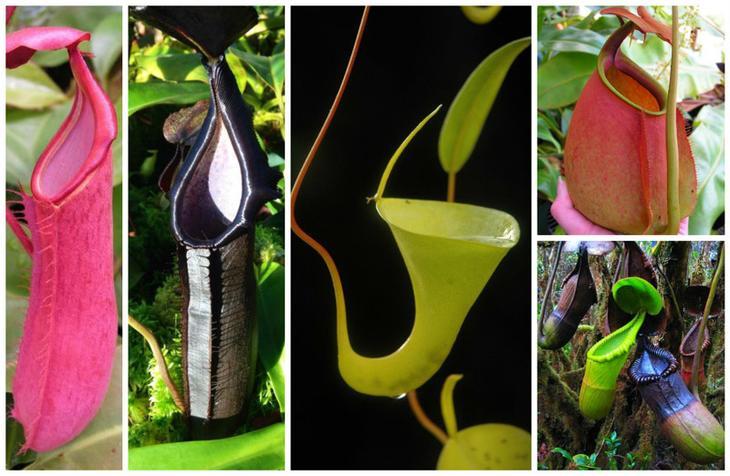 Непентес (Nepenthes) красота, особенные, природа, растения, флора, цветы