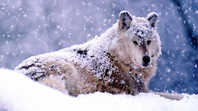 История о том, как волки спасли человека