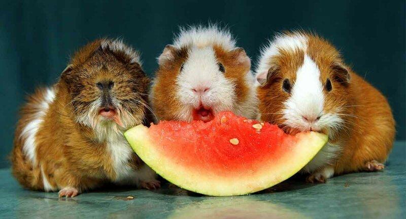 В Швейцарии законом запрещено иметь одну морскую свинку вопросы, животные, земля, мир, планета, почему, факты