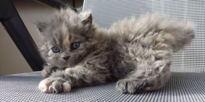 Эти кучерявые котики очаровали интернет
