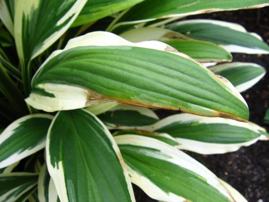 51296ccf88.5-hrectifolia-chionea.jpg