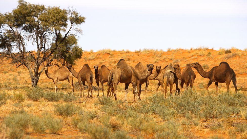 Верблюды, белки и питоны: са…