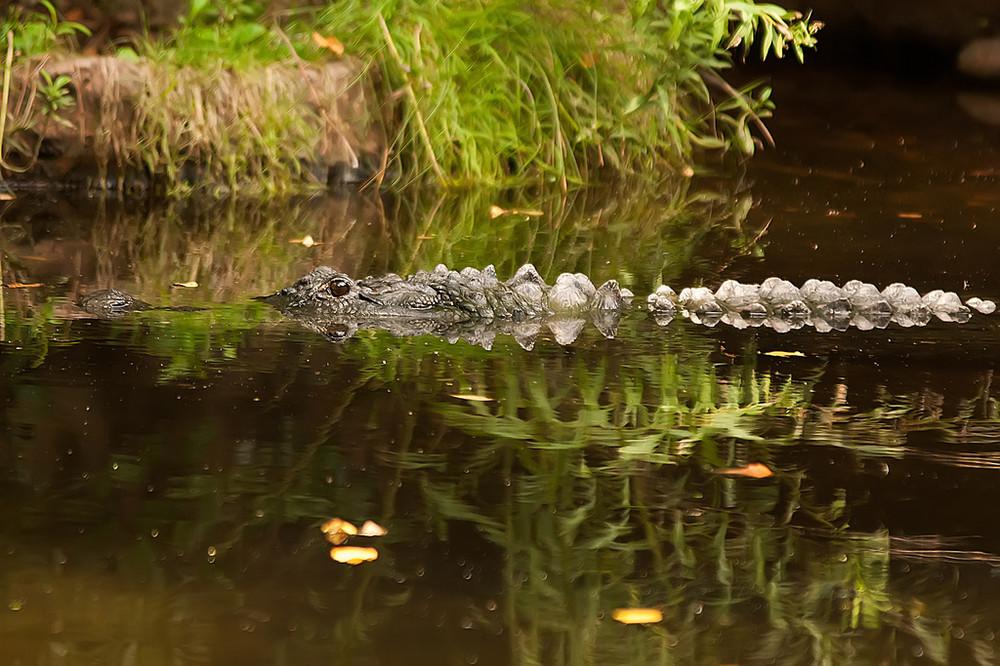 Как охотиться на аллигаторов в Америке