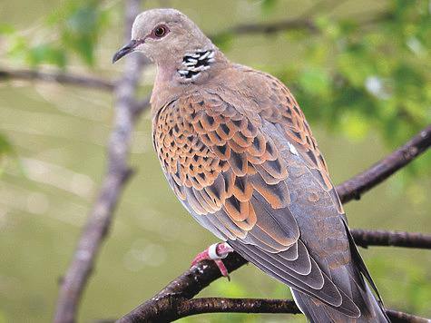 Охота на голубей: горлицу пообещали внести в Красную книгу