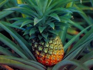 Вы хотите, чтобы у вас вырос ананас дома?