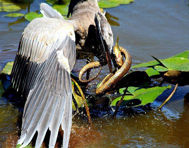 17. Цапля пытается съесть змею, которая ест рыбу животные, природа