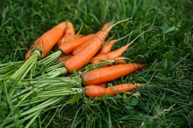 Морковь сею «букетами»