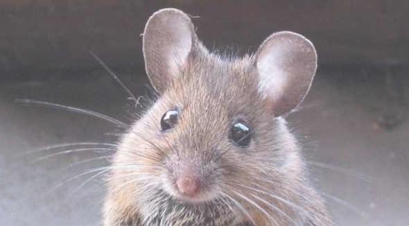 «Я думал, что схожу с ума»: мышь каждую ночь наводила порядок в гараже фермера