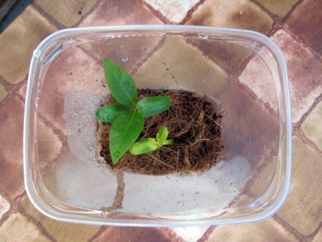 Гавайи дома: как вырастить плюмерию из семян.