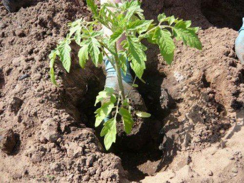 Что необходимо класть в лунку при посадке помидоров? Полезные советы