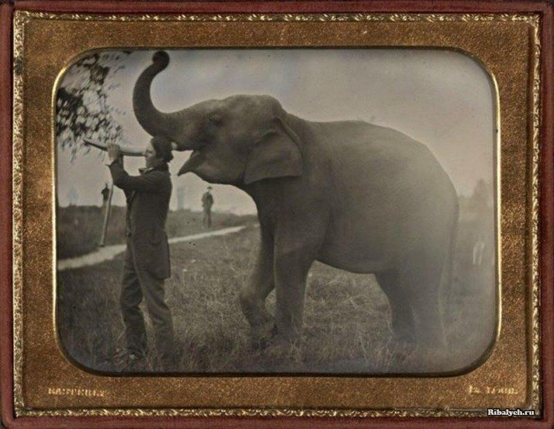 Первая известная фотография слона, 1850 год. Фотограф: Thomas Easterly. история, люди, мир, фото