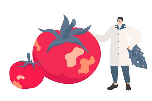 Что за вирус коричневых морщинистых плодов томата и чем он опасен?