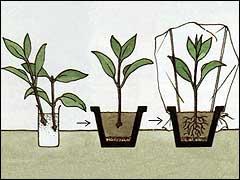 Стимуляторы роста для черенкования