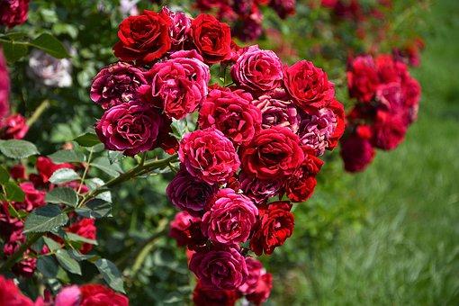 Розы, выращенные из букета.