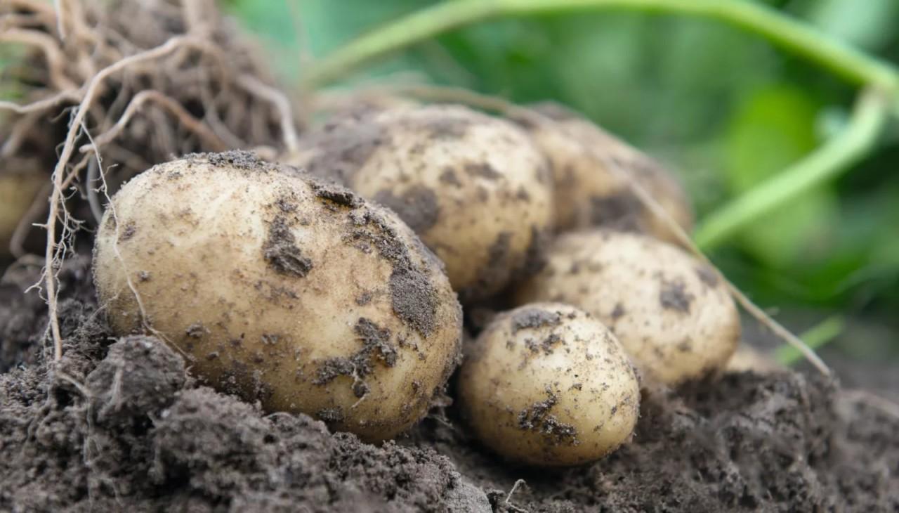 Картофель гниёт сразу после …