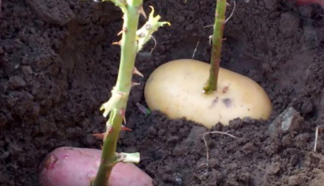 Он втыкает розу в картошку и сажает ее в горшок. Через неделю вырастает уникальное