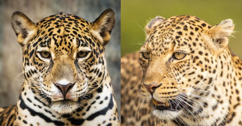 Леопард или Ягуар - кто отличит?