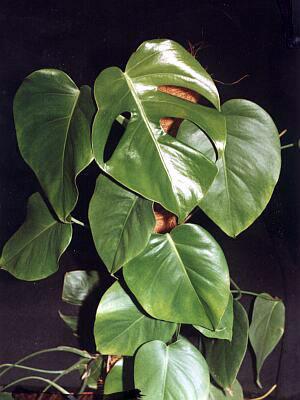 Монстера: виды, особенности выращивания, проблемы и болезни на сайте Мир цветов.