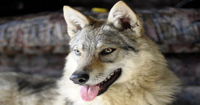 Уникальное явление, или 10 самых редких пород собак в мире!