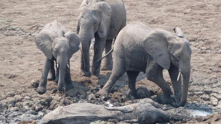 Они увидели слоненка и его мать, умирающих в грязи...